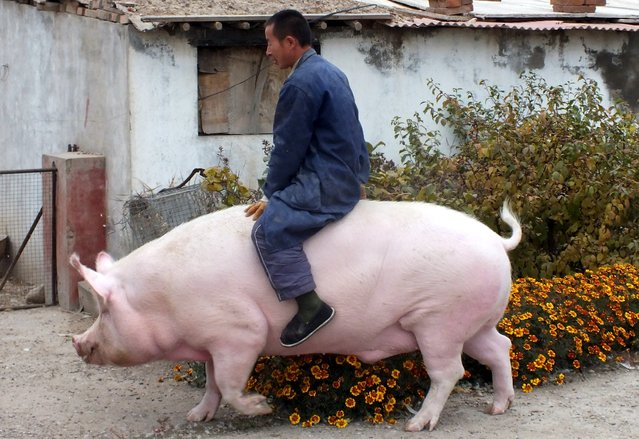 "Farmer Zhang Xianping rides his pig ""Big Precious"" during an interview with the media, in Zhangjiakou, Hebei province, China, November 2, 2015. Zhang, a pig breeder, instead of killing it, decided to keep the two-year-old ""Big Precious"" as pet when its weight reached 600 kg, according to local media. (Photo by Reuters/China Daily)"