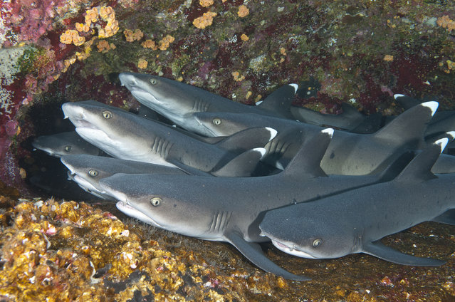 A group of whitetip reef sharks rest under a ledge on a wall at the small, remote island of Roca Partida, one of four islands that make up Mexicos Revillagigedo archipelago. The islands are located between 220 and 400 miles south of the southern end of the nations Baja peninsula in the eastern tropical Pacific. (Photo by Marty Snyderman/Caters News Agency)