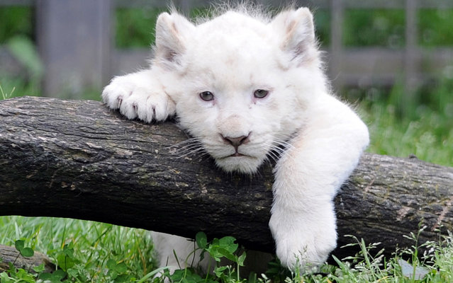 This picture taken on April 18, 2013 shows a white lion cub in his pen at the Pont-Scroff's Zoo in Pont-Scorff, western France. Three lion cubs, two males and a female, were born on February 23 and were shown for the first time to the public on April 17. (Photo by Fred Tanneau)