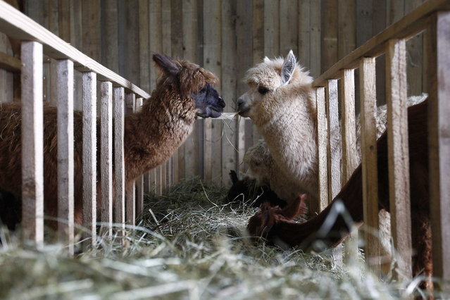 Alpacas stand in their barn in the village of Winklarn near Regensburg April 22, 2013. The alpacas are always shorn in spring, to make the animals more comfortable for the summer months and to collect the expensive and well known alpaca wool. (Photo by Michaela Rehle/Reuters)