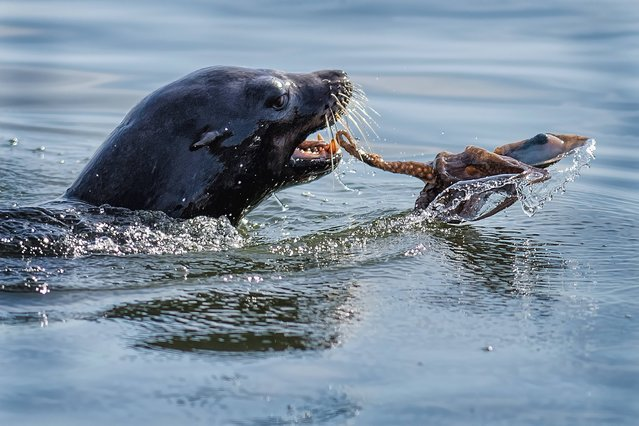 This stunning set of pictures shows an intense battle between a seal and octopus – in which the seal emerges as the winner by gulping the octopus down in one. The hungry seal spots the octopus and decides that it would make a great breakfast, so goes in for the killer move. But the little octopus puts up a fight by wriggling about and wrapping its clingy tentacles around the seal's face. (Photo by Solent News/Splash News)