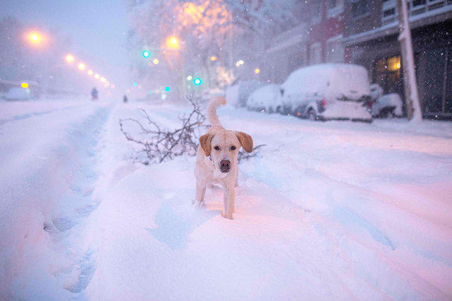 A dog plays amid a heavy snowfall in Madrid on January 9, 2021. Heavy snow fell across much of Spain, leaving huge areas blanketed in white as Storm Filomena brought wintry weather not seen in decades to the Iberian peninsula. (Photo by Benjamin Cremel/AFP Photo)