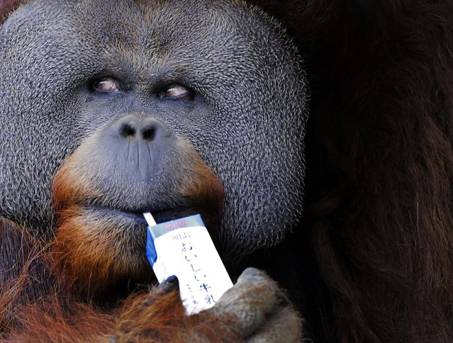 Iban, a 25-year-old male Sumatran orangutan, uses a straw to drink milk at the Ichikawa Zoological and Botanical Garden in Ichikawa, near Tokyo, on June 9, 2013. (Photo by Itsuo Inouye/Associated Press)