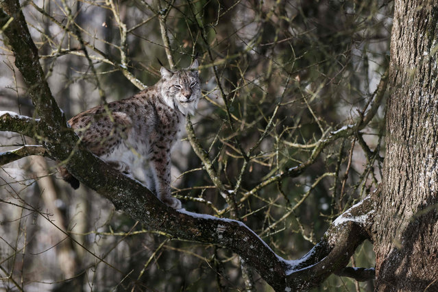 A picture taken on February 10, 2021 shows a lynx sitting on a branch at the Domaine des Grottes de Han Wildlife Park and touristic site in Han-sur-Lesse, Belgium. Animal parks will reopen to public in Belgium on February 13, 2021, after months of closure due to the new coronavirus pandemic. (Photo by Kenzo Tribouillard/AFP Photo)