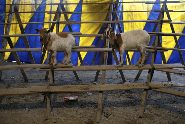 In this July 8, 2018 photo, goats named Nina and Carmecita stand leashed to the bleachers of the Tony Perejil circus, where they perform during circus acts, inside the tent set up in the shantytown of Puente Piedra on the outskirts of Lima, Peru. A 2011 law prohibits circuses from using wild animals in their shows. (Photo by Martin Mejia/AP Photo)