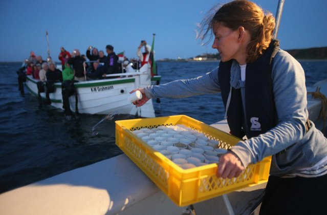 Isabel Schmalenbach, an environmental scientist with the Helgoland Biological Institute (Biologische Anstalt Helgoland), part of the Alfred Wegener Institute for Polar and Marine Research, releases baby European lobsters (Homarus gammarus) into the North Sea as sponsors of the lobsters look on from a boat on August 3, 2013 off the coast of Helgoland Island, Germany. (Photo by Sean Gallup/Getty Images)