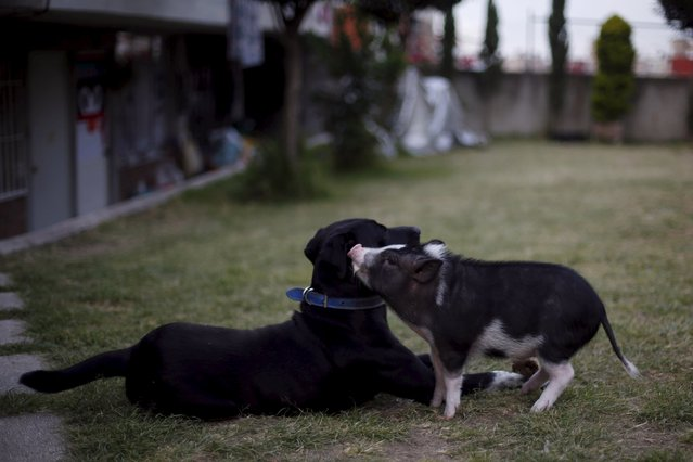 Goyo, an eight-month-old mini pig, plays with a dog in Mexico City, December 21, 2015. (Photo by Edgard Garrido/Reuters)