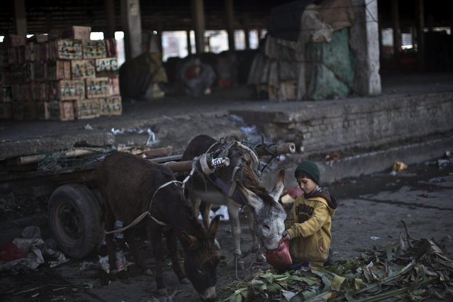 An Afghan refugee who works in a fruit and vegetable market feeds his donkeys on the outskirts of Islamabad, Pakistan, Friday, January 30, 2015. (Photo by Muhammed Muheisen/AP Photo)