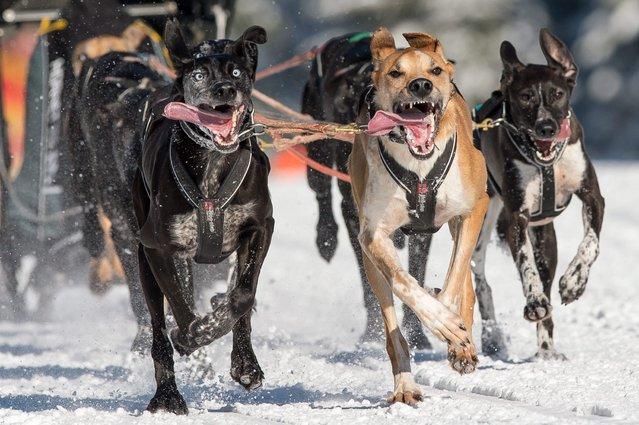 Dogs dash through the snow during a sled dog race in Szklarska Poreba, Poland, 07 February 2015. (Photo by Maciej Kulczynski/EPA)