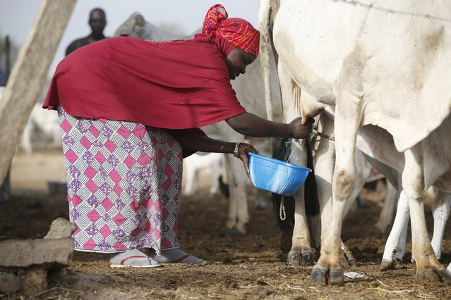 A tribal Fulani woman milks a cow at a local milk collecting centre in Dangwala Karfi village on the outskirts of Nigeria's northern city of Kano January 19, 2016. (Photo by Akintunde Akinleye/Reuters)