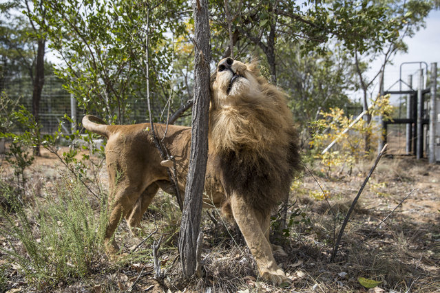 One of the 33 Lions enjoys his new enclosure at the Emoya  Big Cat Sanctuary', on May 01, 2016 in Vaalwater, South Africa. A total of 33 former circus Lions, 22 males and 11 females from Peru and Columbia were airlifted to South Africa yesterday, before being released today to live out their lives on the private reserve in the Limpopo Province. 24 of the animals were rescued in raids on circuses operating in Peru, with the rest voluntarily surrendered by a circus in Colombia after Colombias Congress passed a bill prohibiting circuses from using wild animals. The trip has been coordinated by the animal rights group Animal Defenders International. The animals have been released into small open areas with natural vegetation, something that many of the animals have never experienced before. (Photo by Dan Kitwood/Getty Images)