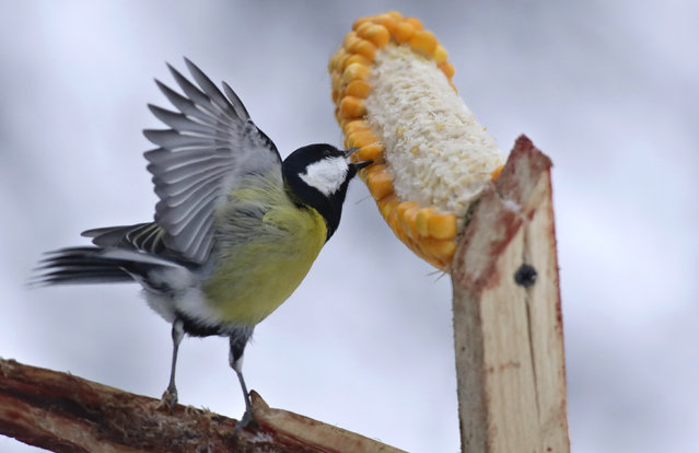 A bird picks kernels on a bird feeder on tree brach in the village of Khatenchitsy, 65 kilometers (40 miles) northwest of Minsk, Belarus, Monday, December 24, 2018. (Photo by Sergei Grits/AP Photo)