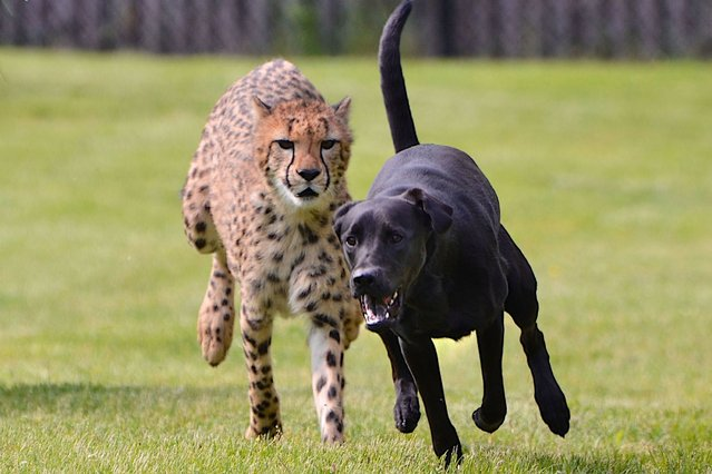 These stunning images could be mistaken for a cheetah ravenously chasing down a dog, but in fact, the pair are best of friends. (Photo by Caters News Agency)