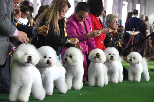 Bichons Frises gather in the judging ring during the Daytime Session in the Breed Judging across the Hound, Toy, Non-Sporting and Herding groups at the 143rd Annual Westminster Kennel Club Dog Show at Pier 92/94 in New York City on February 11, 2019. (Photo by Timothy A. Clary/AFP Photo)