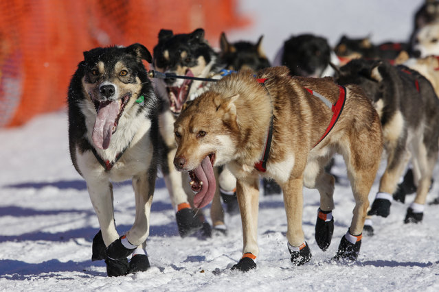 Kristin Bacon's team races down the chute at the restart of the Iditarod Trail Sled Dog Race in Willow, Alaska March 6, 2016. (Photo by Nathaniel Wilder/Reuters)
