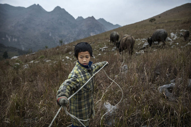 """""""Left behind"""" child  Luo Gan,10, tends to the family cows as he does chores with his siblings in the fields on December 17, 2016 in Anshun, China. (Photo by Kevin Frayer/Getty Images)"""