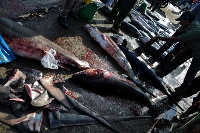 A man checks the fin of a thresher shark at a fishing port in Banda Aceh, Indonesia on June 13, 2019. (Photo by Chaideer Mahyuddin/AFP Photo)