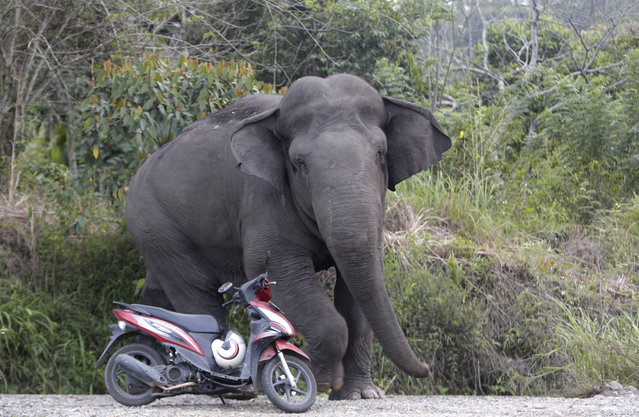 A wild elephant appears in the human habited area of Negeri Antara, Aceh, Indonesia, 13 February 2019. Across Aceh province on the Indonesian island of Sumatra, new plantations and a housing construction boom are threatening the natural environment, pitting humans against the already-critically endangered wild elephants in a fatal conflict which the native Sumatran pachyderm is certain to lose. The elephants' impending extinction is palpable across the country, but nowhere more so than in Aceh, where only 500 remain in the wild. Clashes in Aceh between elephants and humans are reportedly the highest of anywhere in the country. The opening up of new palm oil plantations, illegal hunting, including for ivory, and large scale illegal logging are the main causes for the increasingly prevalent clashes between humans and elephants in Aceh. (Photo by Hotli Simanjuntak/EPA/EFE)