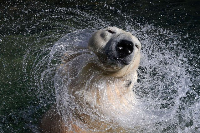 27-year-old white polar bear Uslada shakes off water in her pool at the Leningrad Zoo in St. Petersburg, Russia, on April 25, 2014. (Photo by Alexander Demianchuk/Reuters)