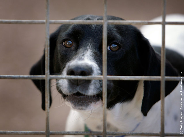 A homeless dog called Spot, sits in his kennel at the RSPCA Animal Rescue Centre in Barnes Hill, Birmingham, England
