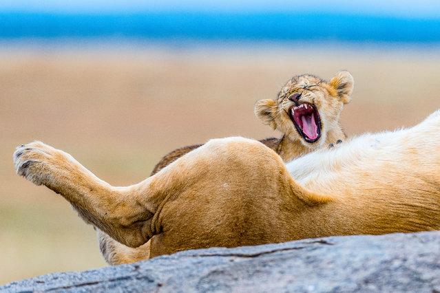 One of the cubs can be seen yawning alongside the sleeping mother. (Photo by YS Wildlife Photography/Mercury Press/Caters News Agency)