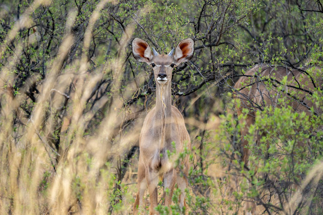A kudu stands dazzled in the drought stricken Hwange National Park, in Zimbabwe, on November 12, 2019. Over 200 elephants have died along with other animals due to lack water and food in the Hwange National Park which is the size of Belgium, currently carrying upwards of 45 000 pachyderms amounting to more than the entire herd of Kenya. (Photo by Zinyange Auntony/AFP Photo)