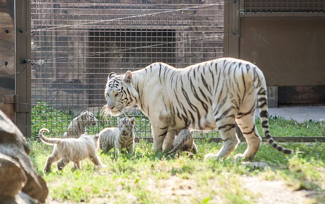 A white Bengali tigress stands with her four cubs in their enclosure in Xantus Janos Zoo in Gyor, 120 kms west of Budapest, Hungary, Friday, July 24, 2015. (Photo by Csaba Krizsan/MTI via AP Photo)