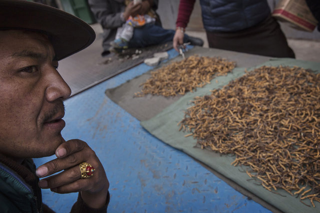 Tibetan nomads examine cordycep fungus for sale at a market on May 22, 2016 on the Tibetan Plateau in Yushu town in the Yushu Tibetan Autonomous Prefecture of Qinghai province. The Tibetan Plateau is home to the cordyceps fungus, also known as caterpillar fungus, is a parasitic spore that thrives in high altitude, low temperature conditions on the Tibetan plateau. While not historically a part of Tibetan culture, cordyceps are a prized ingredient of traditional Asian medicinal treatments that purportedly heal ailments ranging from asthma to impotence to cancer. (Photo by Kevin Frayer/Getty Images)
