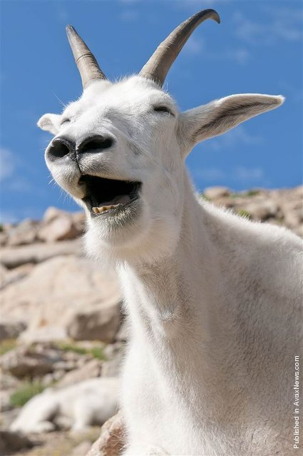 """""""This cheerful mountain goat laughs for a photographer at Mt. Evans in Colorado after he and his pals interrupted a photo shoot of the picturesque sunrise"""""""