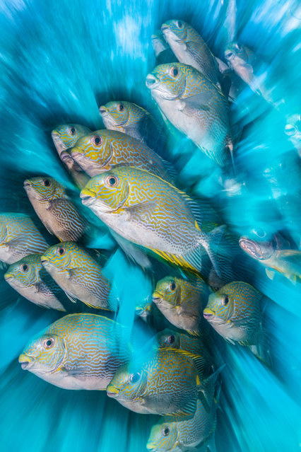 British underwater photographer of the year 2020 and wide angle category highly commended: Rabbit Fish Zoom Blur by Nicholas More (UK) in Raja Ampat, Indonesia. A school of friendly rabbitfish under a jetty. (Photo by Nicholas More/Underwater Photographer of the Year 2020)