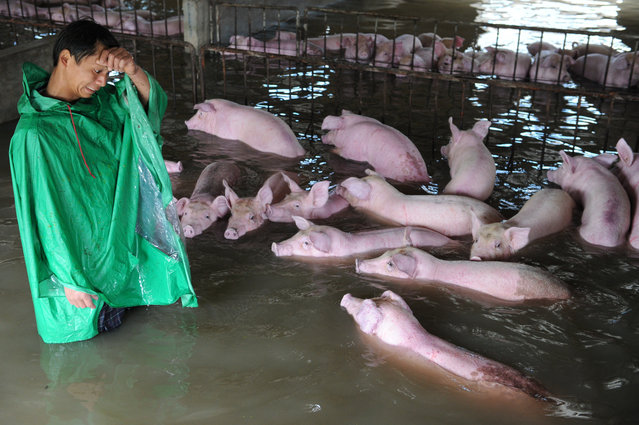 An employee looks at pigs, which cannot be moved away from a flooded farm due to an environmental protection and epidemic prevention measure, before he leaves for a safer place in Liu'an, Anhui Province, China, July 4, 2016. (Photo by Reuters/Stringer)