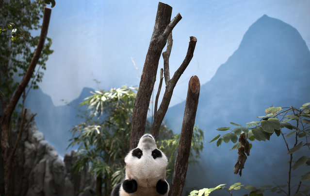 """Female Giant Panda """"Jia Jia"""""""" one of two Giant Pandas from China is seen in its enclosure on Monday Oct. 29, 2012 in Singapore. (Photo by Wong Maye-E/AP Photo)"""
