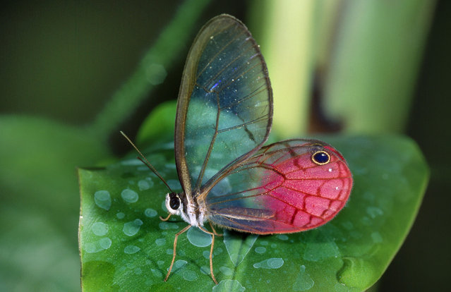 Glasswing butterfly. (Photo by Hans Dossenbach/Caters News)