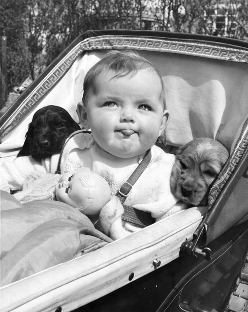 Seven month old Christine Joy shares her pram with two 5 week old Gunsure Golden Cherry's cocker spaniel pups from Gunsure Kennels in Ashford, Middlesex. 22nd May 1953. (Photo by Fred Morley/Fox Photos)