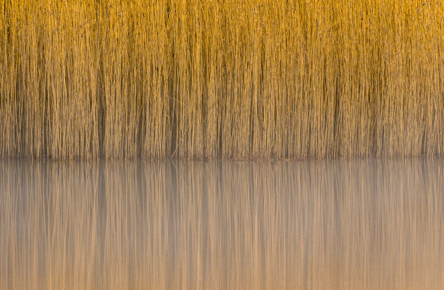 """Steve Palmer, botanical Britain category winner: Reeds, Lindow Common, Wilmslow, Cheshire. """"I'd always been fascinated by the almost abstract patterns and reflections of these common reeds, but the conditions had never been perfect, despite numerous visits. However, on this morning the water was still and the light was soft and I was able to capture the image I was after"""". (Photo by Steve Palmer/British Wildlife Photography Awards 2017)"""