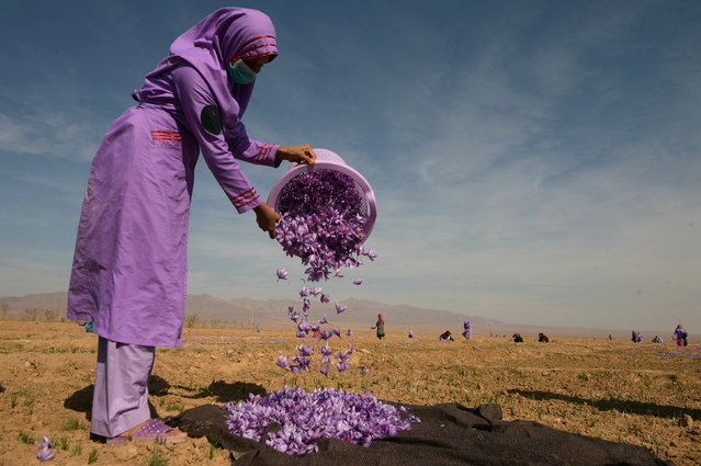 In this photograph taken on October 27, 2017 an Afghan woman collects saffron flowers after picking them in a field on the outskirt of Herat For years, Afghanistan has tried to give farmers alternatives such as fruit crops and saffron to wean them away from poppy farming – the lifeblood of the Taliban insurgency. International donors have splurged billions of dollars on counter- narcotics efforts in Afghanistan over the past decade, including efforts to encourage farmers to switch to other cash crops such as saffron. But those efforts have shown little results. (Photo by Hoshang Hashimi/AFP Photo)