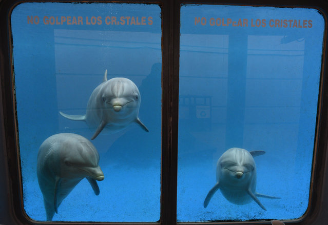 Three Common bottlenose dolphins (Tursiops truncatus truncatus) look curiosly at camera at Madrid Zoo and Aquarium. (Photo by Jorge Sanz/Pacific Press/Barcroft Images)
