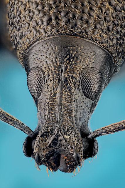 Otiorhynchus sp. (Germar 1822). (Andrea Hallgass)