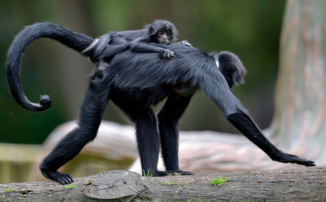 A Spider monkey carries its baby at Bioparque Wakata in Jaime Duque park, in Briceno municipality near Bogota, Colombia, on July 30, 2020. (Photo by Raúl Arboleda/AFP Photo)