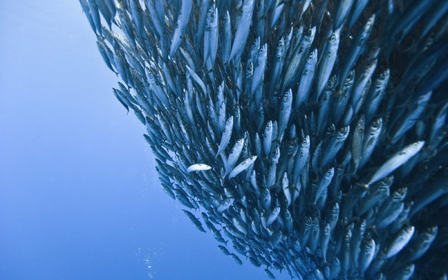 Sharks And Dolphins Preying On Mackerel