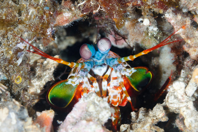 A peacock mantis shrimp looks out from its burrow, Dumaguete, Philippines on September 10, 2016. (Photo by Ed Brown/Alamy Stock Photo)