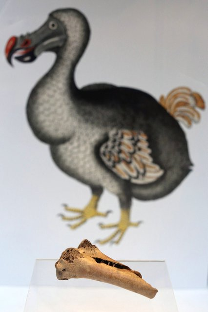 """A rare fragment from a dodo's femur bone at Christie's auction house on March 27, 2013 in London, England. The extinct bird's bone is expected to fetch 15,000 GBP when it features in Christie's """"Travel, Science and Natural History"""" sale, which is to be held on April 24, 2013 in London. It is believed to be the first dodo bone that has come to auction since 1934.  (Photo by Oli Scarff)"""