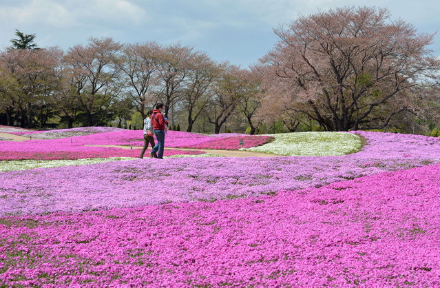 "Visitors enjoy walking through moss phlox at a garden in Tatebayashi, Gunma prefecture, about 80 kms north of Tokyo on April 7, 2013. Over 400,000 blossoming moss phlox are expected to attract many visitors until the upcoming Japanese ""Golden Week"" holiday season in late April and early May. (Photo by Kazuhiro Nogi/AFP Photo)"