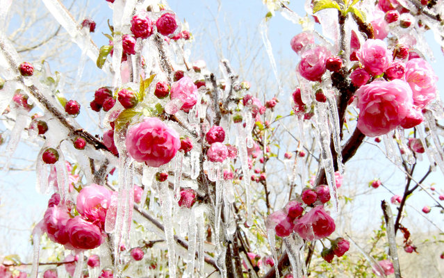Ice hangs on flowers in a garden in Hami, northwest China's Xinjiang Uygur Autonomous Region, on April 9, 2013. A sharp temperature decrease has hit this area following a strong cold air. (Photo by AFP Photo)