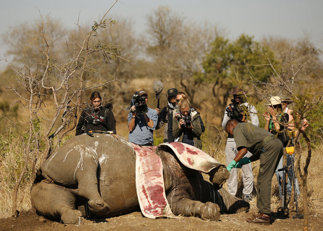 Members of the media film as a ranger performs a post mortem on the carcass of a rhino after it was killed for its horn by poachers at the Kruger national park in Mpumalanga province August 27, 2014. Rhino poachers in South Africa now risk giving themselves away when they shoot thanks to a high-tech, gunfire-detection system being piloted in the country's flagship Kruger National Park. (Photo by Siphiwe Sibeko/Reuters)