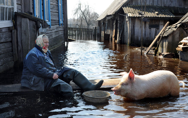 A woman feeds a pig in her yard during spring flood in the Belarus village of Snyadin near Pripyat river, some 300 km south of Minsk, on April 16, 2013. (Photo by Viktor Drachev/AFP Photo)