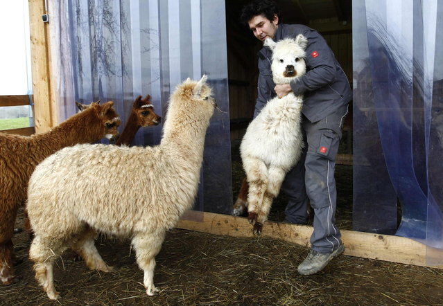 Farmer Ludwig Turban holds an alpaca before shearing it in the village of Winklarn near Regensburg April 22, 2013. The alpacas are always shorn in spring, to make the animals more comfortable for the summer months and to collect the expensive and well known alpaca wool. (Photo by Michaela Rehle/Reuters)