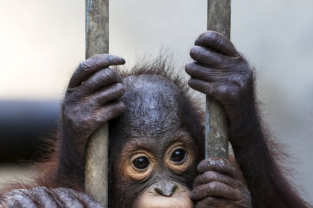 An orangutan looks on in a cage at Kao Pratubchang Conservation Centre in Ratchaburi, Thailand, November 11, 2015. Thailand officials are preparing to send back to Indonesia 14 confiscated orangutans. Most of the Sumatran and Borneo Kalimantan orangutans were confiscated from entertainment businesses in Phuket province since 2008. (Photo by Athit Perawongmetha/Reuters)