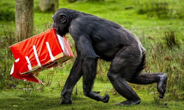 A chimpanzee carries a wrapped box  during a Christmas dinner for the animals of the wildlife zoo Safaripark Beekse Bergen in Hilvarenbeek, The Netherlands, 26 December 2014. The food was hung in Christmas trees, on garlands and hidden in festively wrapped boxes. (Photo by Remko De Waal/EPA)