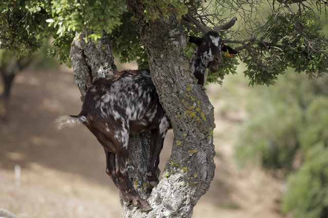 In this picture taken June 5 2018, a goat climbs on a cork oak tree to reach the leaves, in Moita da Guerra, on the hills of southern Portugal's Algarve region. The Portuguese government is hiring dozens of goat herds nationwide as part of its race against the clock to guard the country against a repeat of last year's catastrophic wildfires. That includes using goats to try and clean up as much woodland as possible before temperatures rise and the land becomes a tinder box. (Photo by Armando Franca/AP Photo)